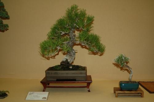 Bonsai Pinus thumbergii, Pino Negro, Bonsai Villena - aebonsai