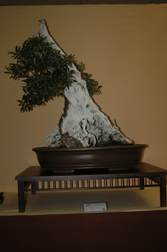 Bonsai Olivo, Asociacion Onda - aebonsai