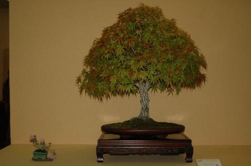Bonsai Acer palmatum arakawa, Xavier Redon - aebonsai