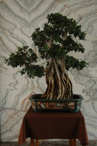 Bonsai Un ficus - aebonsai