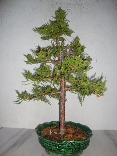 Bonsai tuya (thuja orientalis) - javel