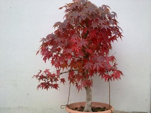 Bonsai Arce Palmatum - Tino Blasco