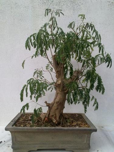 Bonsai mimosa ( acacia) - javel