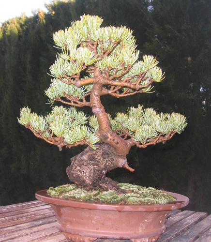 Bonsai Pino de cinco agujas - miguel angel moreno
