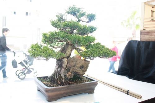 Bonsai Tetraclines - Jaume Canals - torrevejense