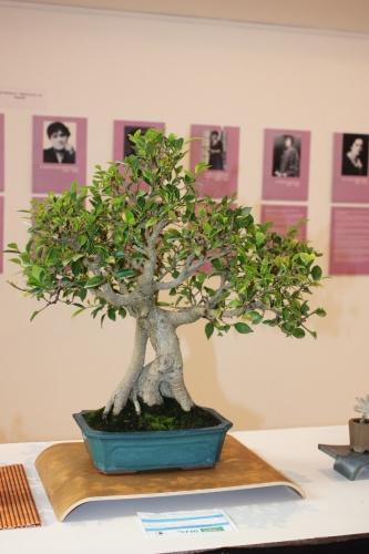 Bonsai Ficus Retusa con Raiz suelta de Novelda Club Bonsai - torrevejense