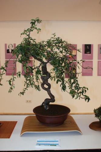 Bonsai Pyracantha Angustifolia de Novelda Club Bonsai - torrevejense