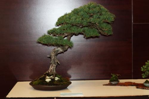 Bonsai Pinus Parviflora de Manuel Diaz - torrevejense