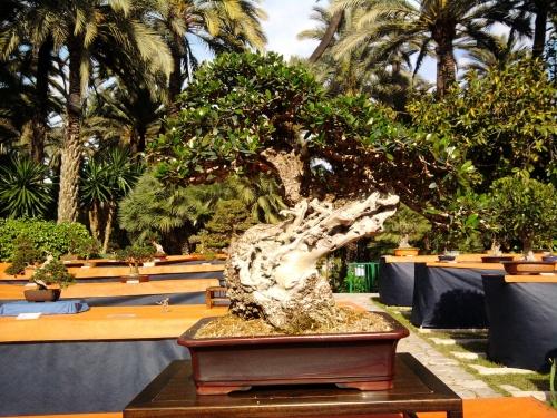 Bonsai Olea Europaea Sylvestris de Club Bonsai Alicante - ilicitano