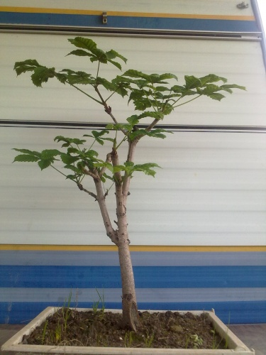 Bonsai castaño - javel
