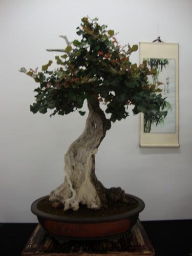 Bonsai 8697 - Bonsai Safor