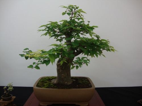 Bonsai 8701 - Bonsai Safor