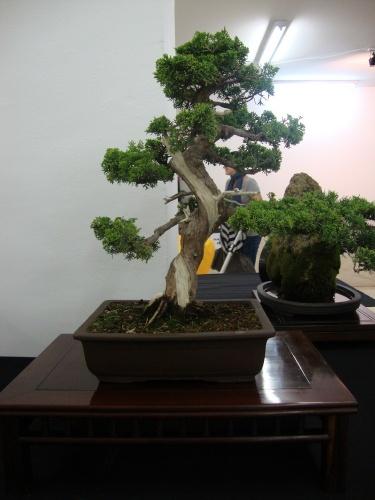 Bonsai 8705 - Bonsai Safor