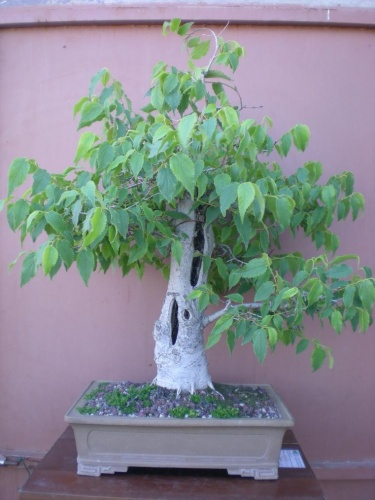 Bonsai Almez-B      (Celtis australis) - Elias