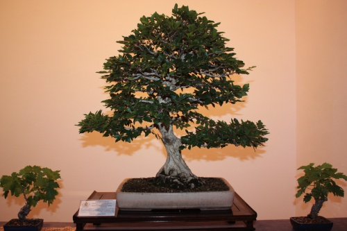 Bonsai Carpe de Jaume Canals - Elche - Acia Bonsai