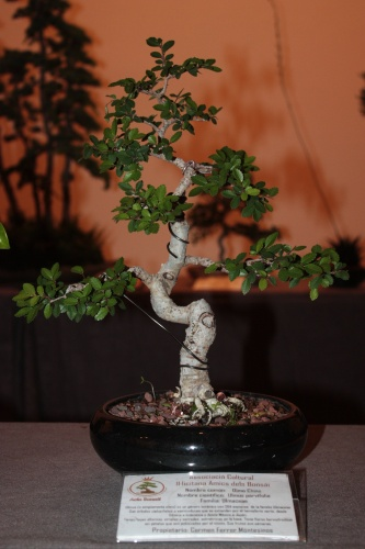 Bonsai Olmo Chino de Carmen Ferrer Montesinos - Acia Bonsai