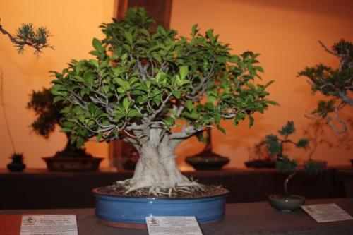 Bonsai Ficus Retusa de Francisco Ferrer Clement - Acia Bonsai