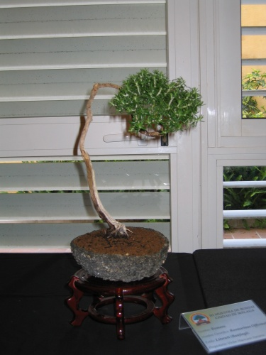 Bonsai 8913 - josegoderi