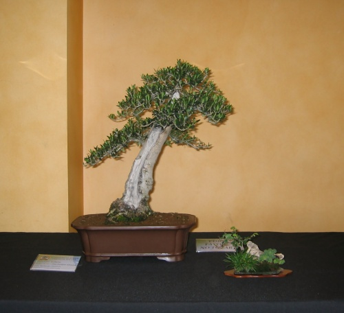 Bonsai 8917 - josegoderi