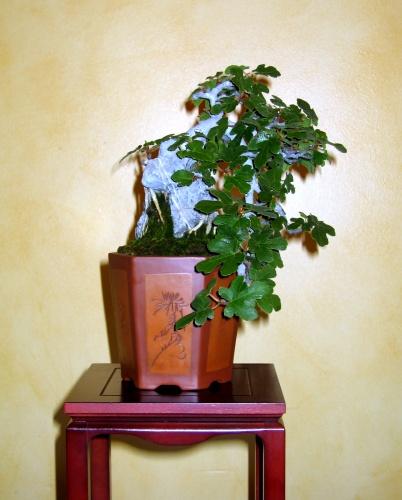 Bonsai Ficus carica - josegoderi