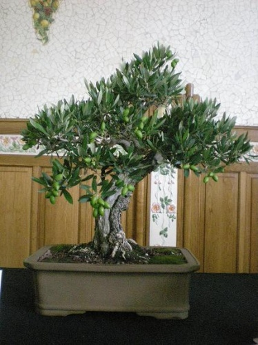 Bonsai Olivo - AVBONSAI