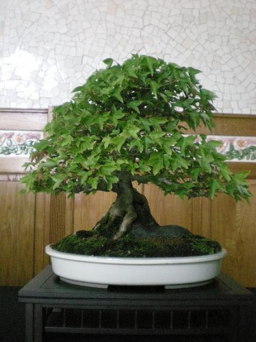 Bonsai Arce tridente - AVBONSAI