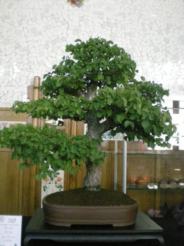 Bonsai Olmo - AVBONSAI