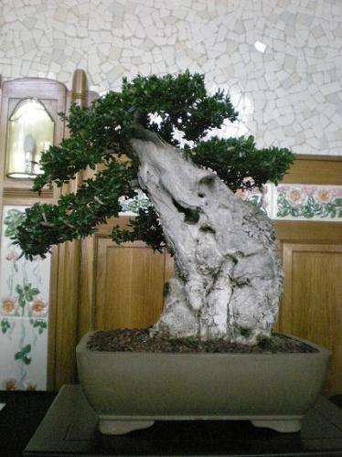 Bonsai Acebuche - AVBONSAI