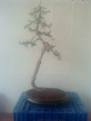 Bonsai Juniperus Sabina - aviguer