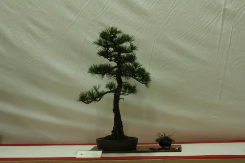 Bonsai Pinus pentaphilla - Cocentaina