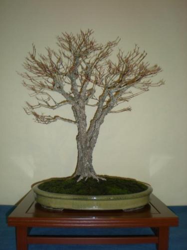 Bonsai 9673 - peniscola