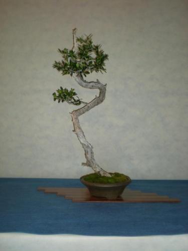 Bonsai 9701 - peniscola