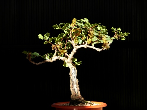 Bonsai algarrobo 2 - carmela
