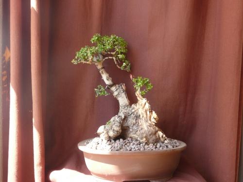 Bonsai 9761 - carmela