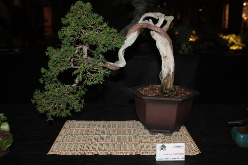 Bonsai Sabina Rastrera de Manuel Cases - Bonsai Oriol