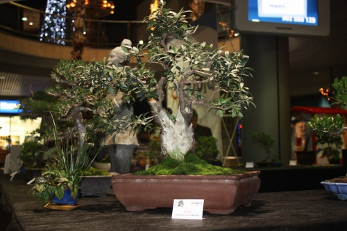 Bonsai Olivo de Fco Jose Martinez - Bonsai Oriol