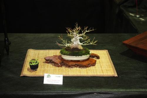 Bonsai Arce Palmatum de Fidel Mula - Bonsai Oriol