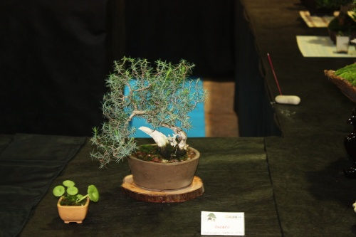 Bonsai Enebro de Joaquin Lopez - Bonsai Oriol