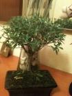 Serissa Phoetida (perenne) [ árbol de las mil estrellas, nieve de junio]