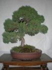 Junipero chinensis