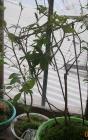 bonsais pamkarapampa