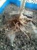 Granado en piedra de doble tronco