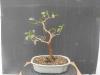 Nº 44 Ficus Retusa