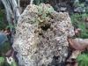 Arce ( Opalus Granatense)