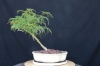 Acer palmatum dissectum vidris