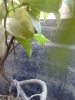 FICUS 3