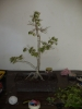 ficus 1