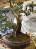 growth of a juniper squamata