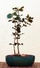 2 Encinas (Quercus Ilex)