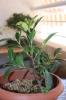 Esqueje de Ficus Retusa